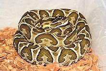 Serpente Urutu